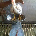 Harga ayam turun